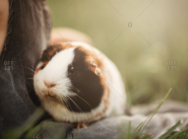 guinea pig sitting in Childs lap outside in the grass