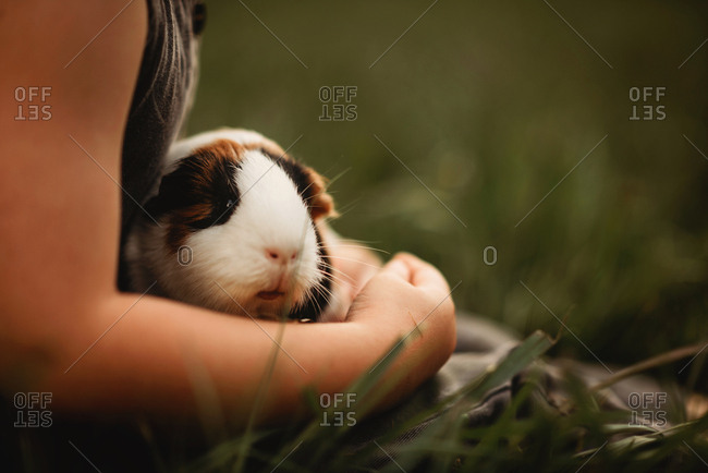 guinea pig in Childs lap