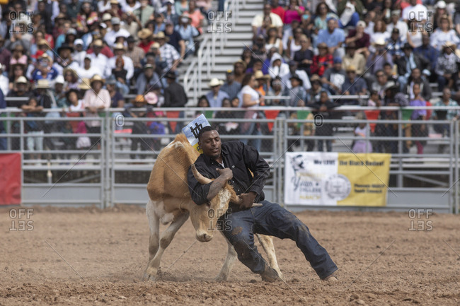 United States, Arizona, Chandler - March 9, 2019: A cowboy wrestles a calf during the roping event