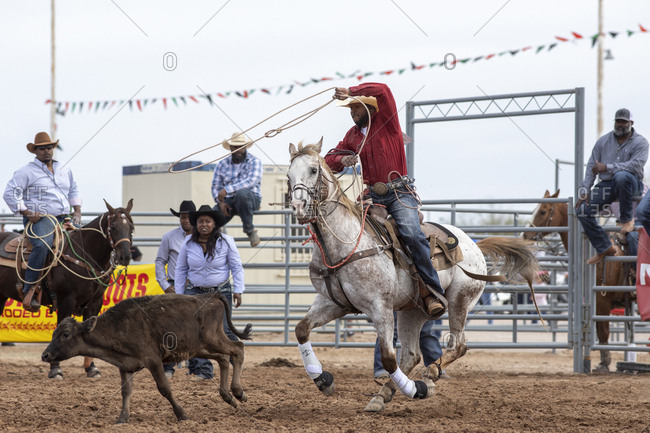 United States, Arizona, Chandler - March 9, 2019: A cowboy tries to rope a calf at the Arizona Black Rodeo