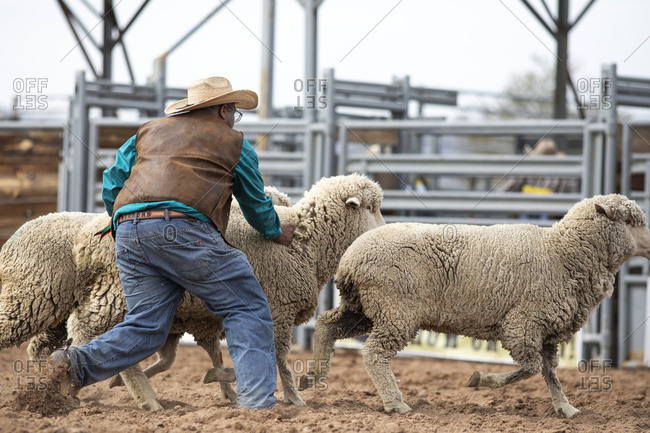 United States, Arizona, Chandler - March 9, 2019: A cowboy wrangles some sheep at the Arizona Black Rodeo
