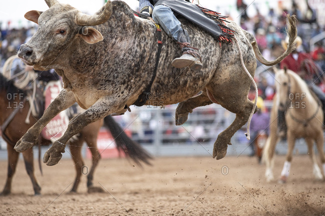 United States, Arizona, Chandler - March 9, 2019: A bull hops in the air while being ridden at the Arizona black rodeo