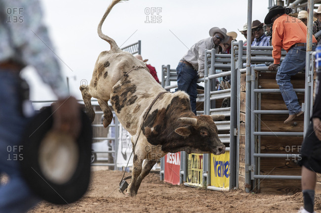 United States, Arizona, Chandler - March 9, 2019: A bull jumps around during the bull riding event at the black rodeo