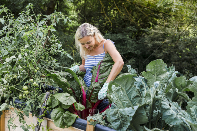 Blond woman harvesting mangold from her raised bed in her own garden