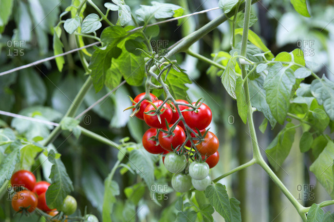 Organic tomato plant- red and green tomatoes