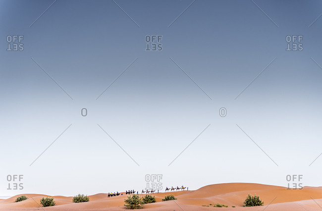 Camels walking in the dunes of the desert of Morocco