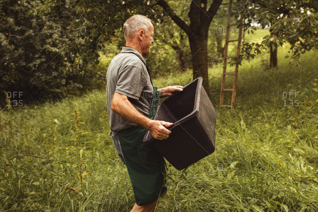 Senior man carrying box during cherry harvest in orchard
