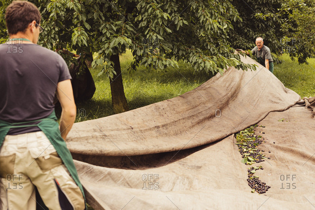 Two men during cherry harvest in orchard- laying out tarpaulin