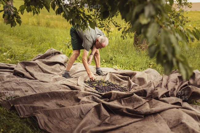 Senior man sorting harvested cherries in orchard