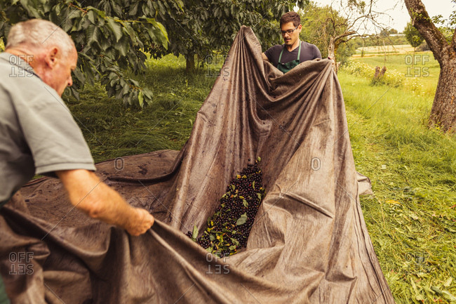 Two men during cherry harvest in orchard- collecting cherries in tarpaulin