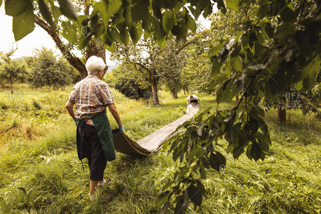 Senior woman with tarpaulin during cherry harvest in orchard