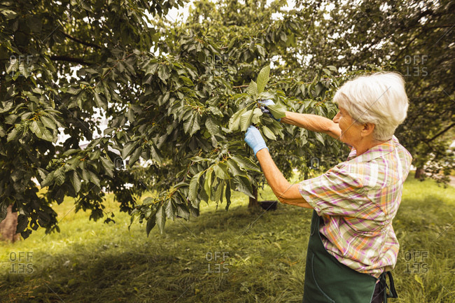 Senior woman picking cherries from tree in orchard
