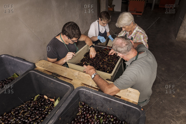 People working together sorting harvested cherries