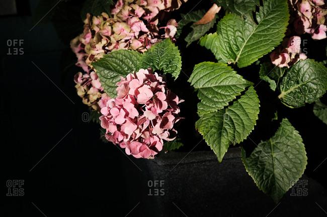 Clolse-up view of pink hydrangeas