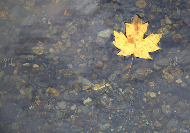 A yellow fallen maple leaf in stream
