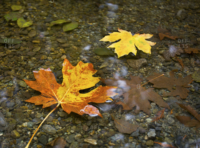 Colorful fallen maple leaves in stream