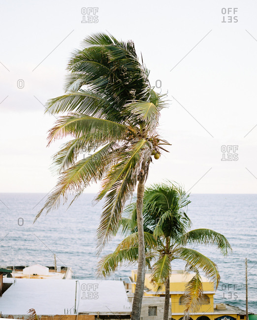 Palm trees on the coast of San Juan, Puerto Rico blowing in the wind