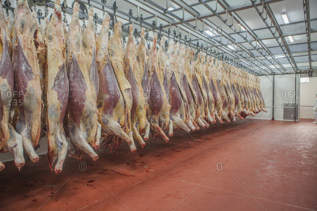 Mature fresh suspended carcass while counting in slaughterhouse workshop