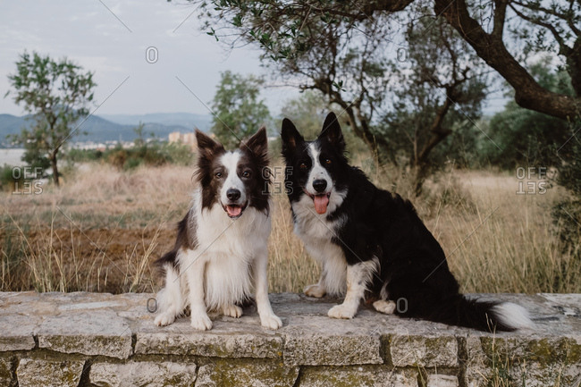 Alert patchy Border Collie dogs with raised ears and sticking out tongue sitting on brick fence against green tree and looking at camera during walk in countryside
