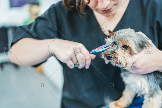 Crop lady using scissors to trim fur on muzzle of cute Yorkshire Terrier on blurred background of grooming salon