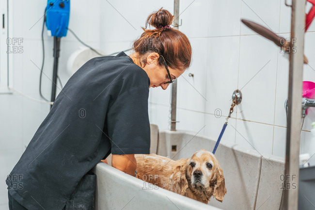 Adult woman washing spaniel dog in bathtub while working in professional grooming salon