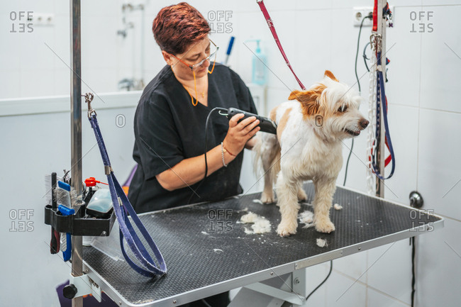 woman in uniform using electric shaver to trim fur of cheerful terrier dog while working in grooming salon