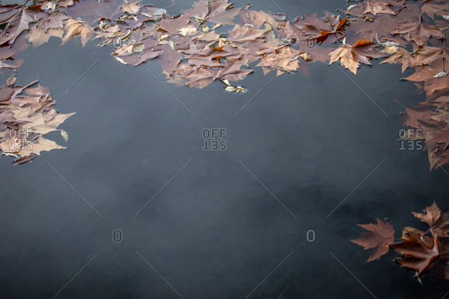 Orange maple leaves floating on surface of calm pond water in autumn park