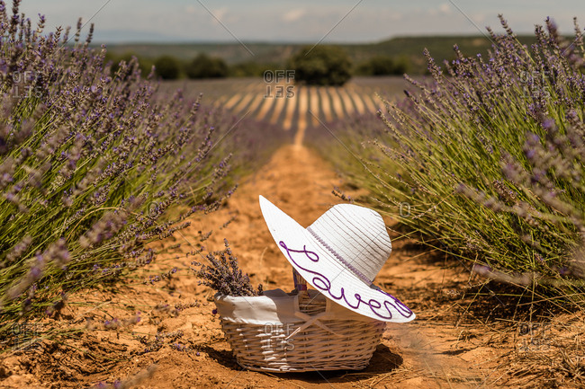 Majestic landscape of blooming lavender field with straw basket and white hat left between rows of purple flowers on sunny day