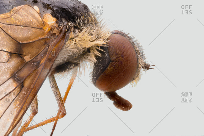 Closeup side view of magnified brown fly with large eyes and transparent wings