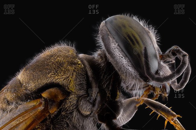 Side view of orange fluffy flying incest with brown antennae and ornamental large eyes