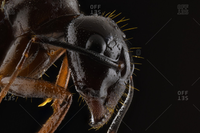 Closeup magnified part of black and brown ant with glossy head and legs
