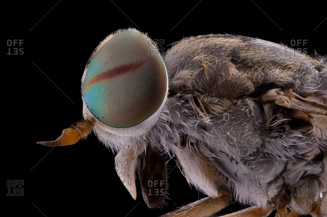 Closeup of magnified grey fluffy head of flying insect with round convex rainbow eyes