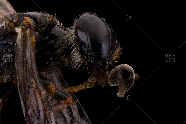 Side view of black glossy flying incest with threatening antennae large eyes and transparent wings