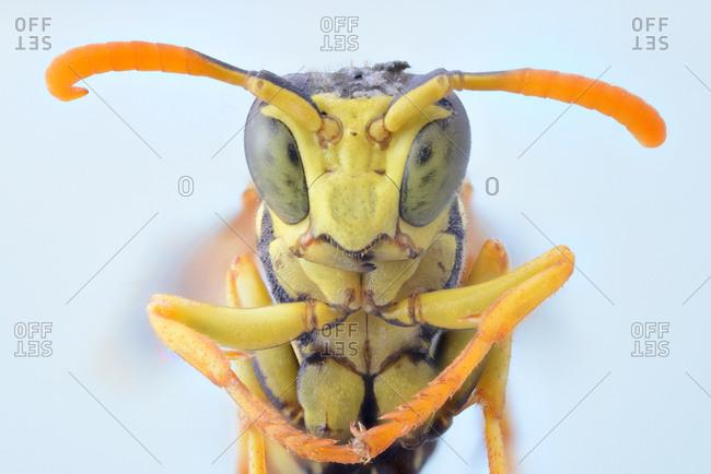Closeup yellow flying wasp folding legs and looking at camera with big green eyes