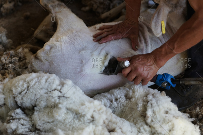Unrecognizable farm worker removing wool from sheep with professional tool on ground in shed