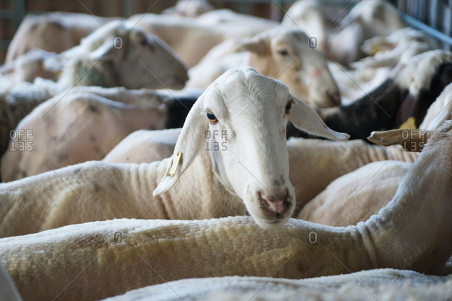 Flock of hairless white sheep standing in corral after shearing on farm