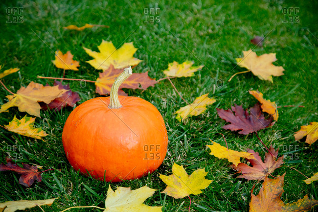 pumpkin with maple leaves on green grass