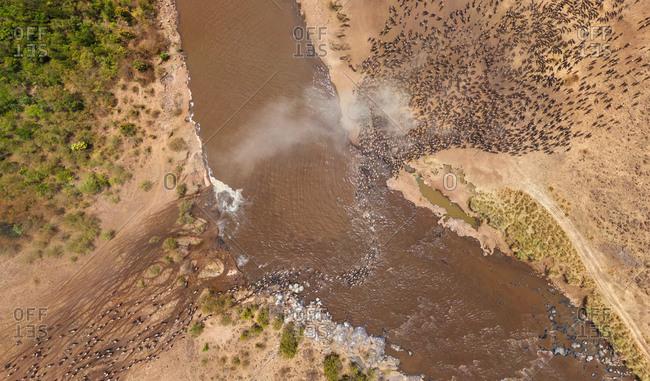 Aerial view of pack of bulls crossing river, Maasai Mara National Reserve, Kenya
