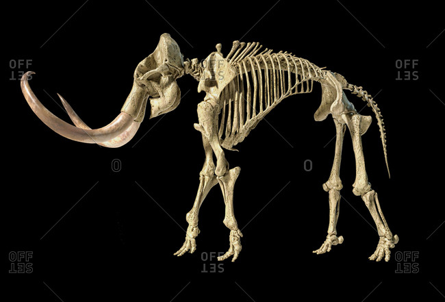 Woolly mammoth skeleton, realistic 3d illustration, viewed from a side. On black background.