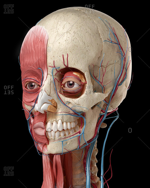 Human anatomy 3d illustration of head with skull, eye bulbs, blood vessels and muscles, on black background.