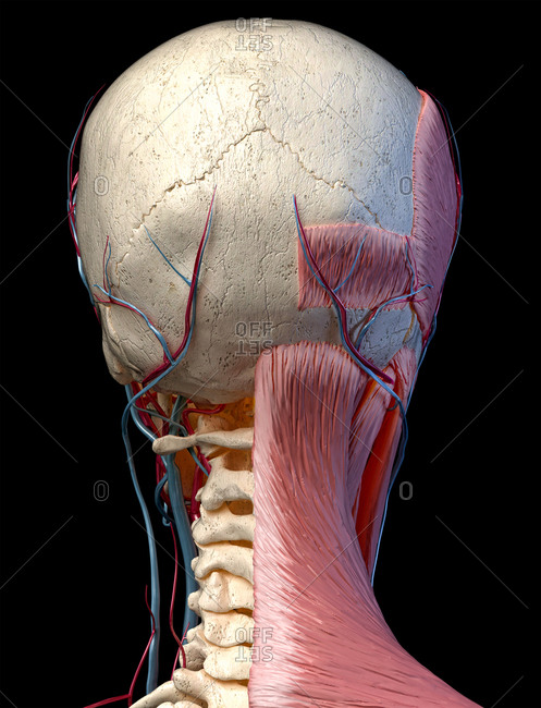 Human anatomy 3d illustration of head with skull, blood vessels and muscles, on black background. Rear view.