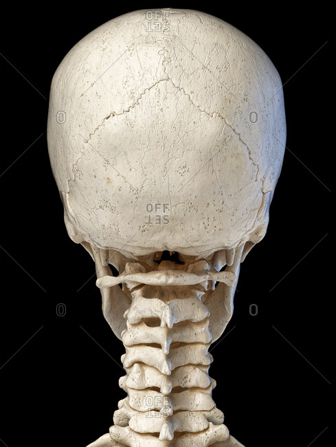 Human head skull with neck spine. Anatomy 3d illustration. Rear view, on black background.