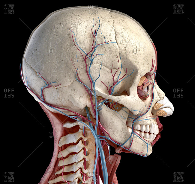 Human 3d anatomy illustration, showing skull, muscles, eyes and blood vessels. Side view. On black background.