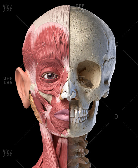 Human anatomy 3d illustration of the head muscles on left side and skull on right side. Anterior view on black background.