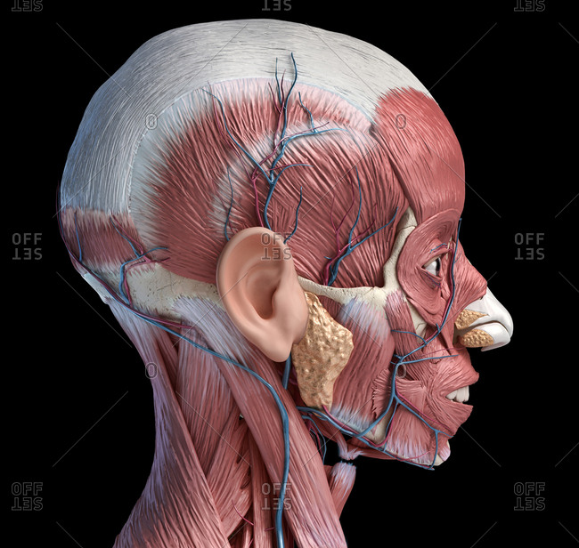 Human head anatomy 3d illustration muscular and vascular systems, lateral view on black background.