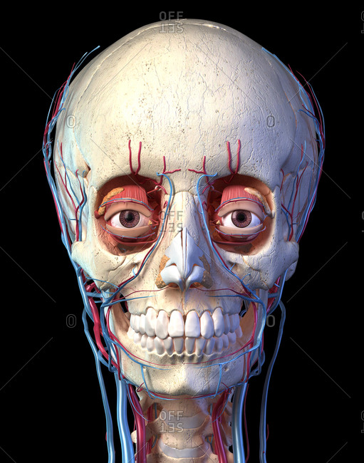 Human anatomy, Vascular system of the head viewed from the front. Computer 3d rendering artwork. On black background.