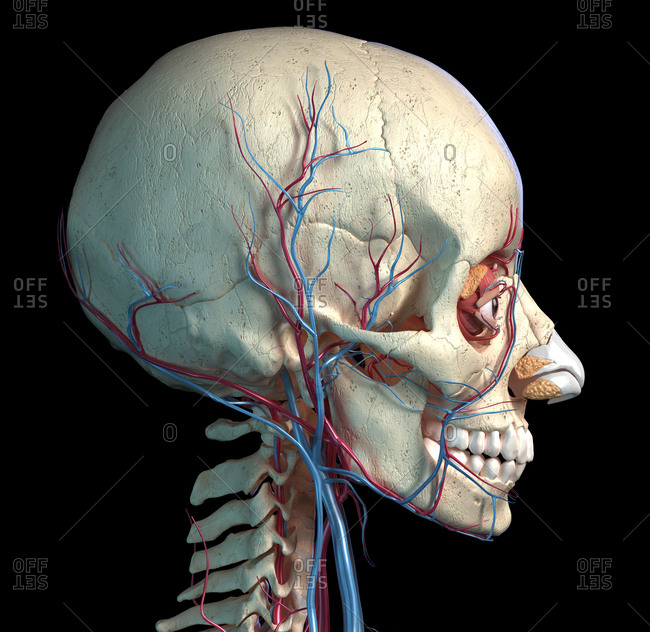 Human anatomy, Vascular system of the head viewed from a side. Computer 3d rendering artwork. On black background.