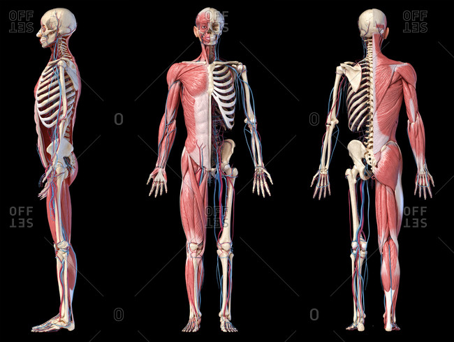Human Anatomy full body skeletal, muscular and cardiovascular systems. Three views, side, front, back, on black background. 3d Illustration.