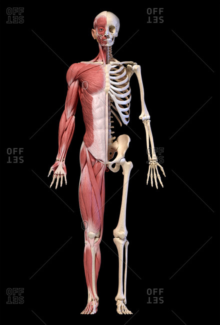 Human body, 3d illustration. Full figure male muscular and skeletal systems, front view on black background.