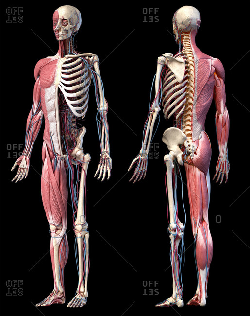 Human Anatomy full body skeletal, muscular and cardiovascular systems. Two views, front and back perspectives, on black background. 3d illustration.
